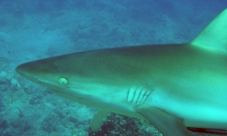 REEF SHARK IN FIJI