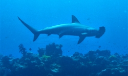 HAMMERHEAD CRUISING FIJI WATERS