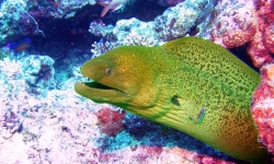 MORAY IN FIJI WATERS