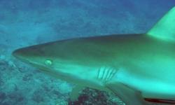 REEF SHARK IN FIJI